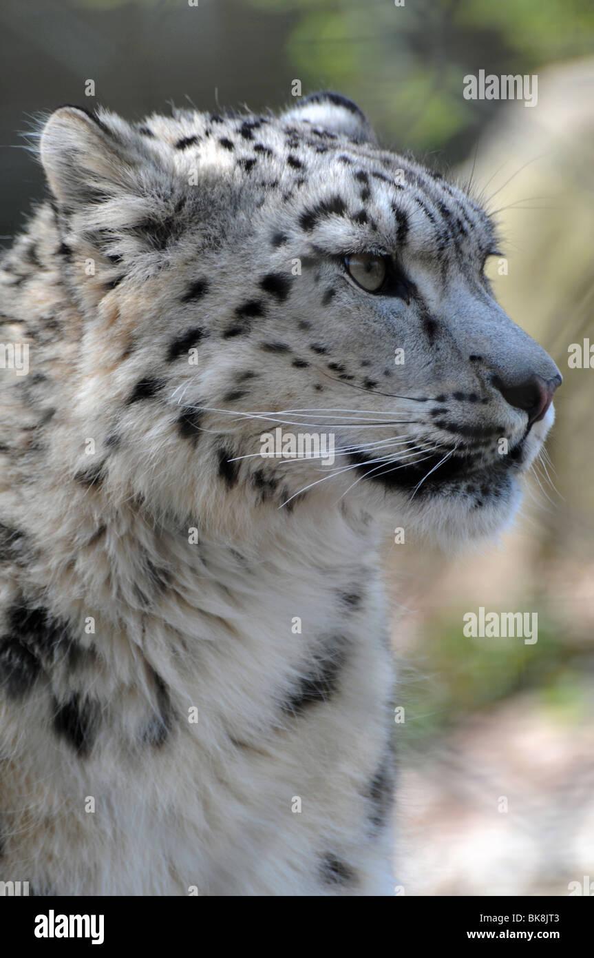 Snow leopard - Pixdaus