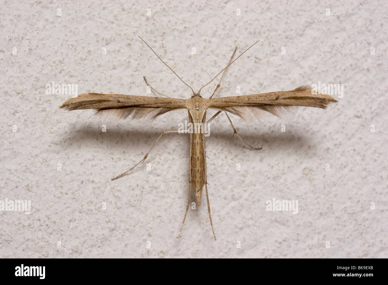 100 t shaped t shaped house plans australia liveideas co t shaped the plume moth emmelina monodactyla in its typical t shaped sciox Images