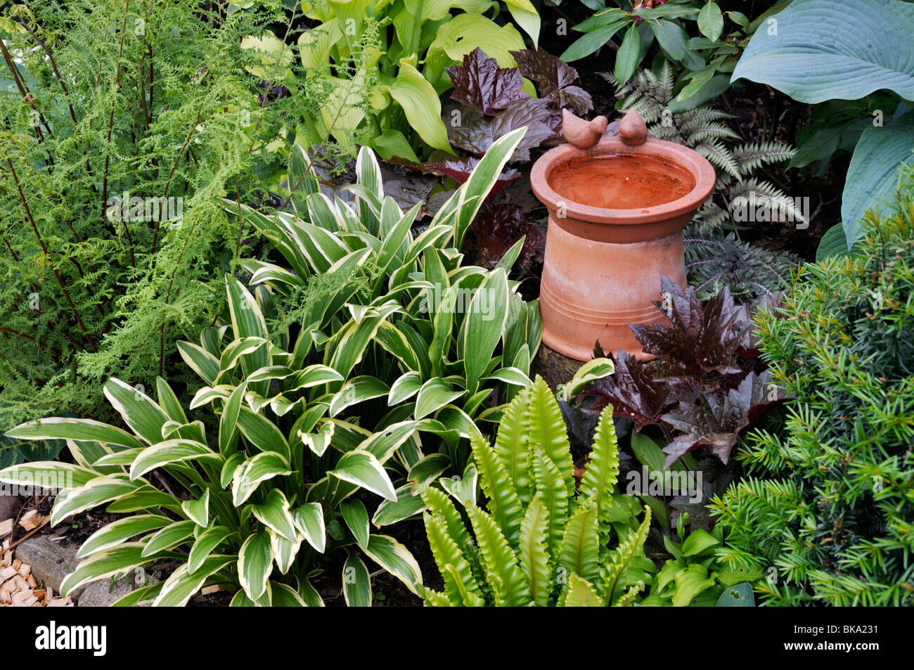 Plantain lilies Hosta harts tongue fern Asplenium