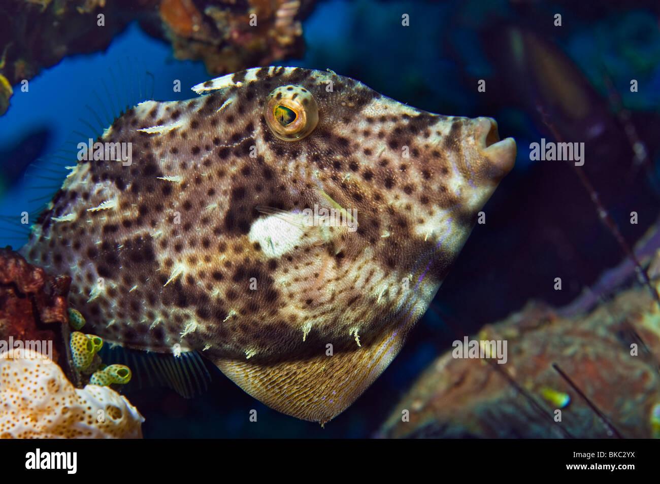 Leather jacket insect - Reef Radial Leatherjacket Filefish File Fish Acreichthys Radiatus Monacanthidae Malapascua Under Water Sea Malapascua Stock