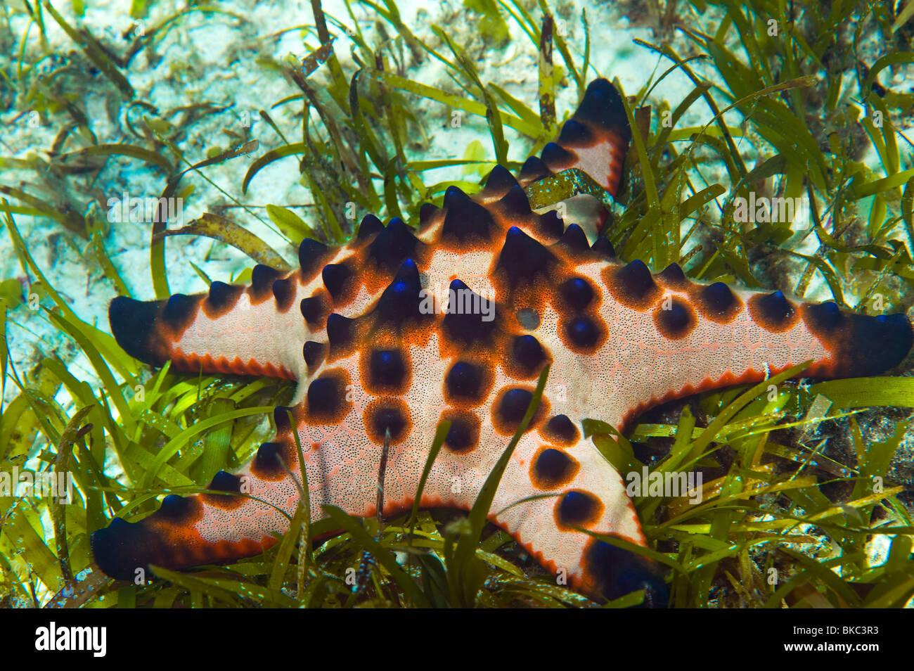 Chocolate Chip Sea Star Stock Photos & Chocolate Chip Sea Star ...
