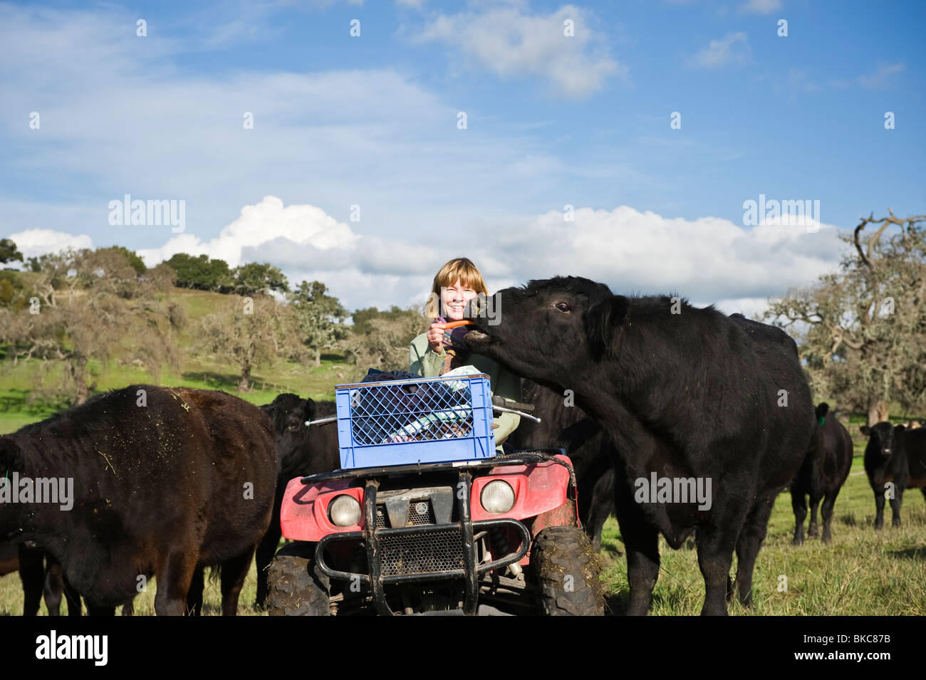 mature adult female rancher hand feeds carrots to herd of black angus stock photo royalty free. Black Bedroom Furniture Sets. Home Design Ideas