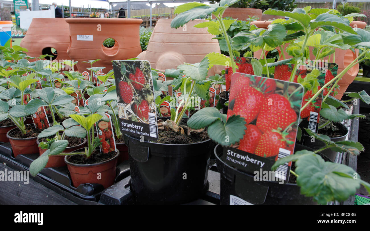 strawberry plants and strawberry pots Brookfields Garden Centre ...