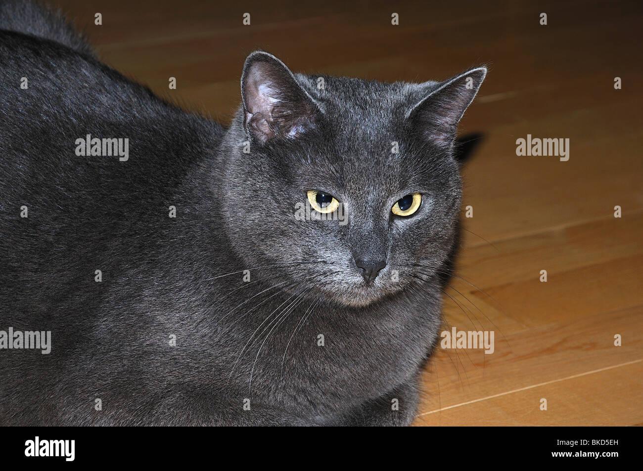 Russian Blue Cat Yellow Eyes Stock s & Russian Blue Cat
