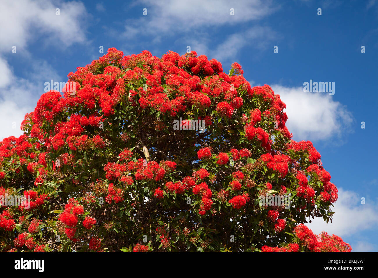 Red flowering gum tree marrawah north western tasmania for Tree with red flowers