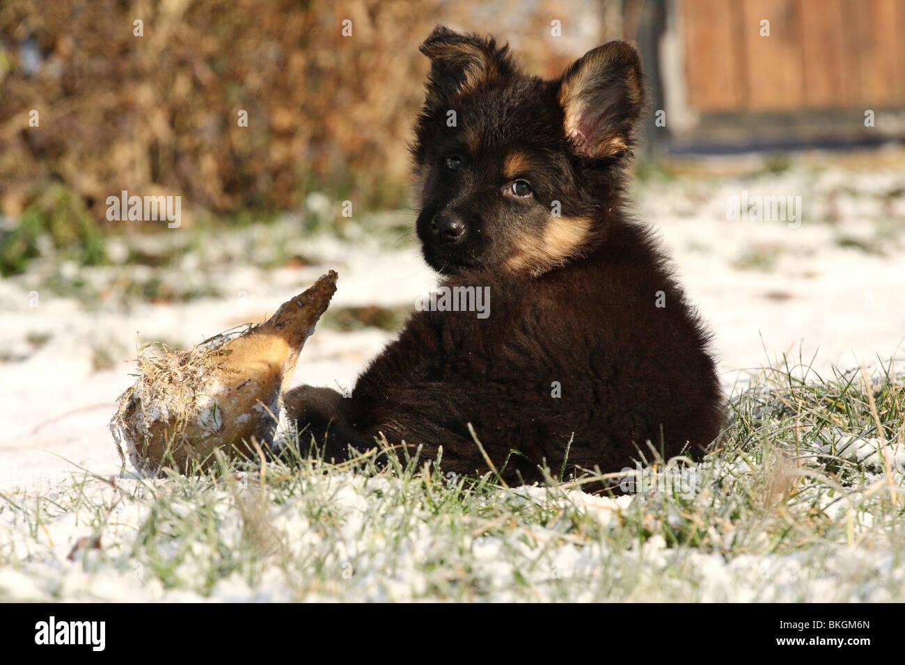Chodsky Pes Welpe / Chodsky Pes Puppy Stock Photo, Royalty Free Image: 29255933 - Alamy