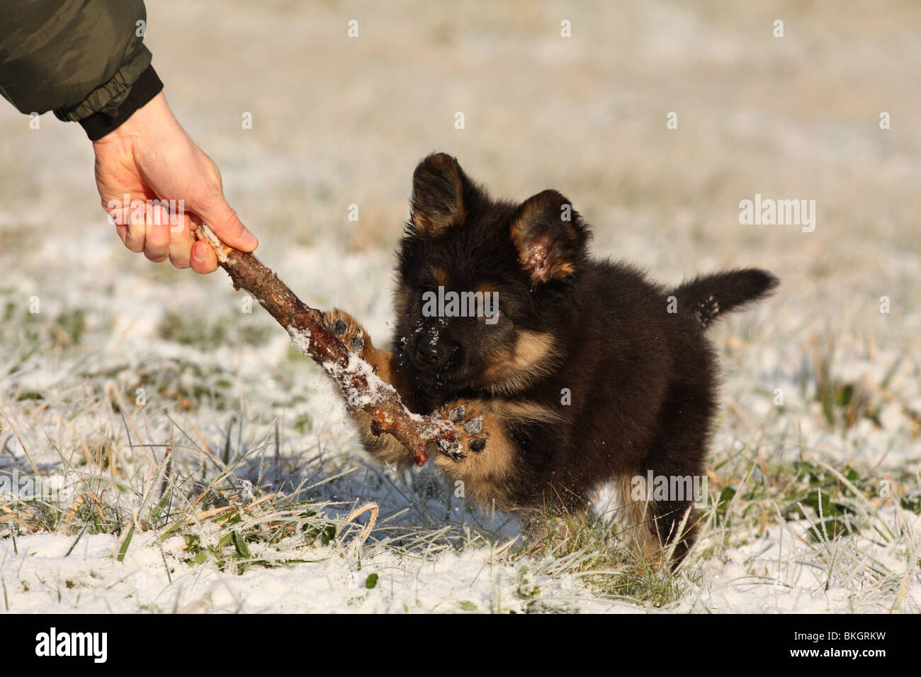spielender Chodsky Pes Welpe / playing Chodsky Pes Puppy Stock Photo, Royalty Free Image ...