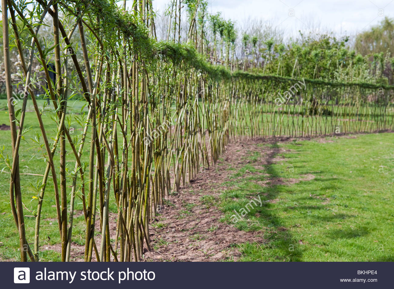 Living fence bamboo garden design with natural fence with bambooLiving Fence  Willow living willow fences this is something i haveMaking Living Bamboo Fence  living hedge fence Living Willow Hedge  . Living Willow Fence Panels. Home Design Ideas
