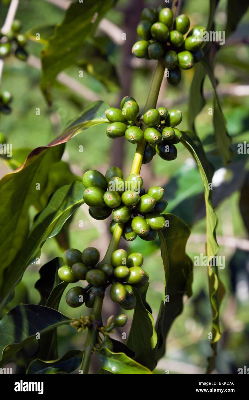 Garcinia cambogia plus 95 pure image 7
