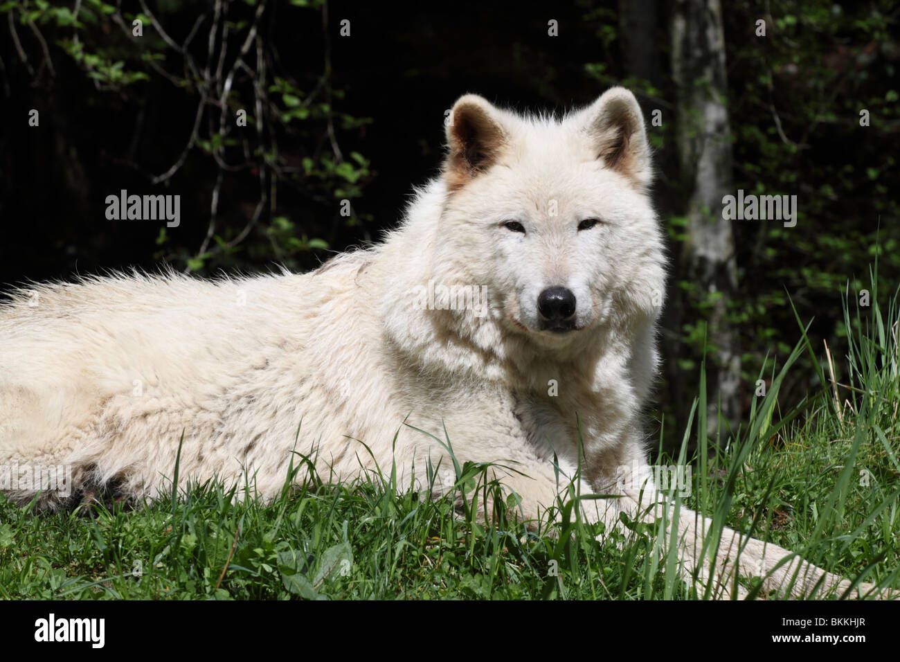 Single white timber wolf laying down on a grass covered ...  Single white ti...