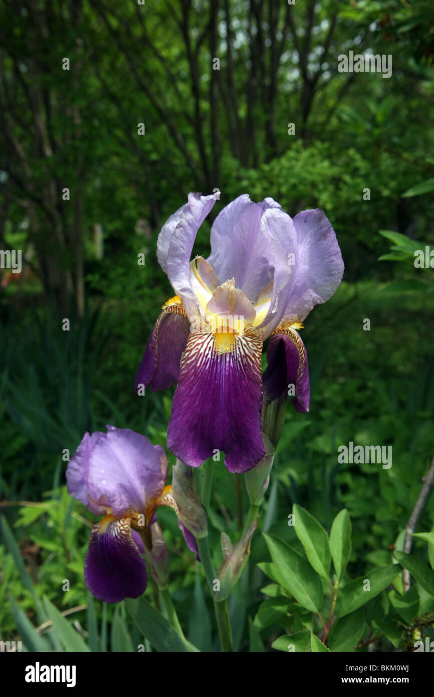 Iris blooms in the springtime in charlottesville virginia stock iris blooms in the springtime in charlottesville virginia izmirmasajfo Images