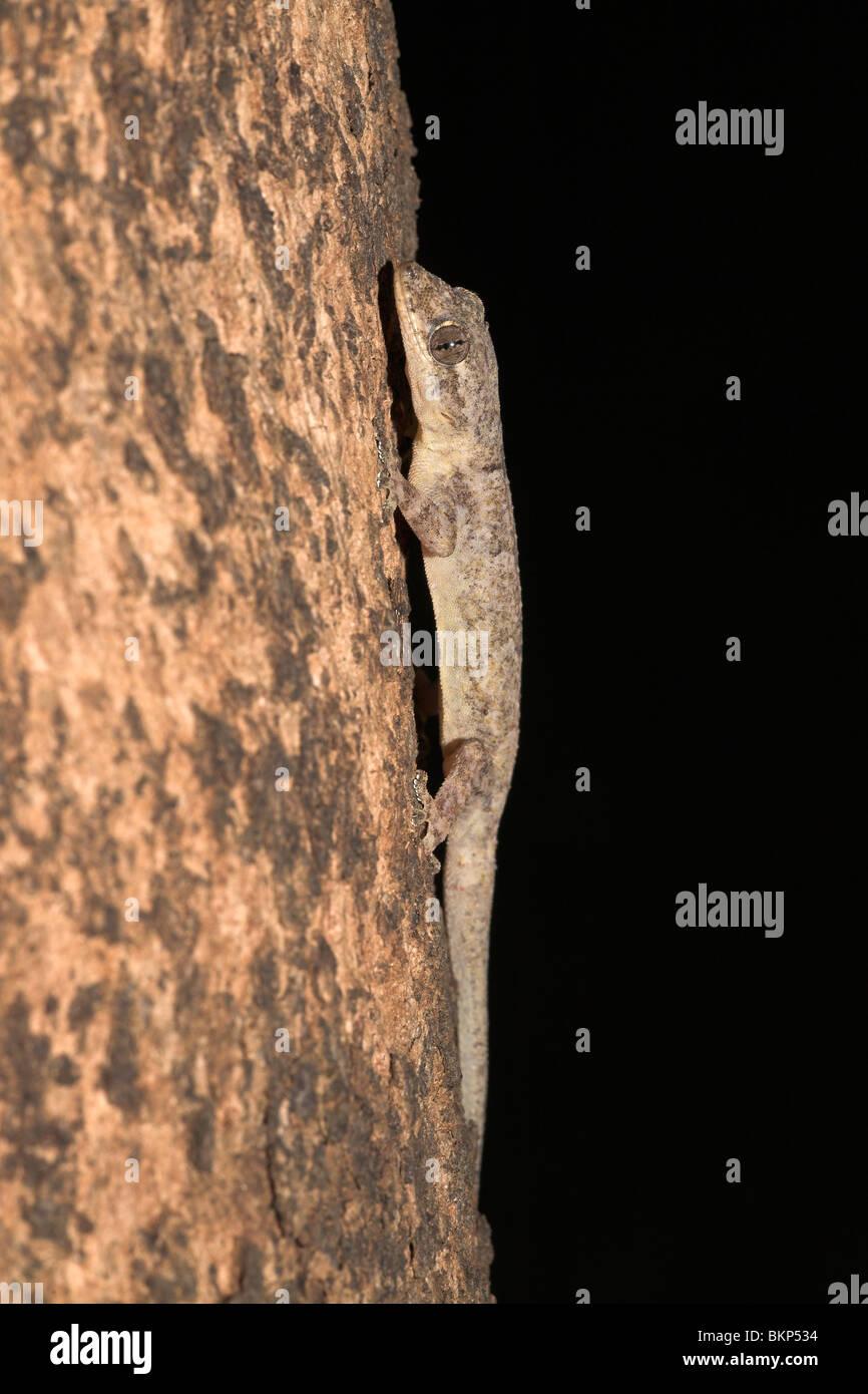 foto of a moreau's tropical house gecko on a tree stock photo