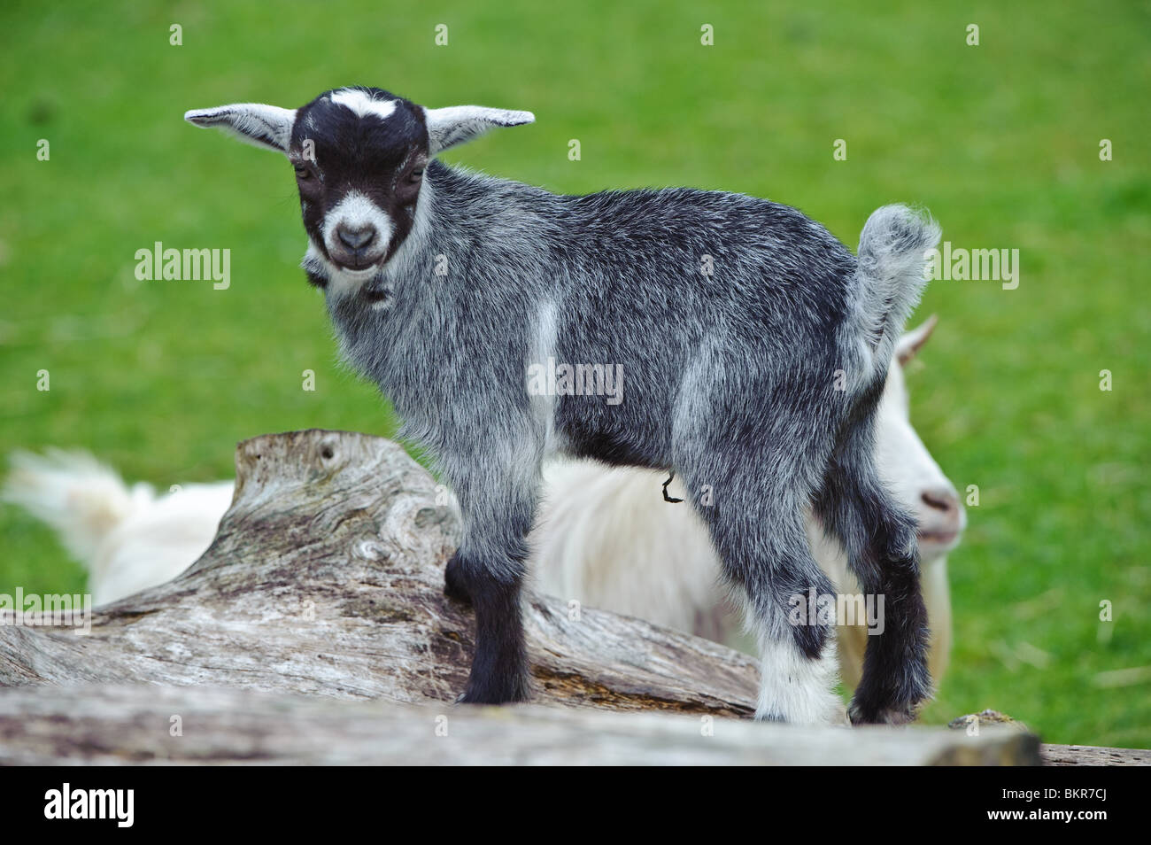 Baby goats playing and jumping