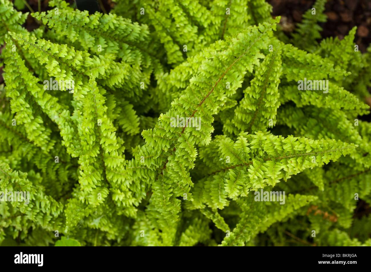 Nephrolepis exaltata 39 fluffy ruffles 39 oleandraceae - Nephrolepis exaltata ...