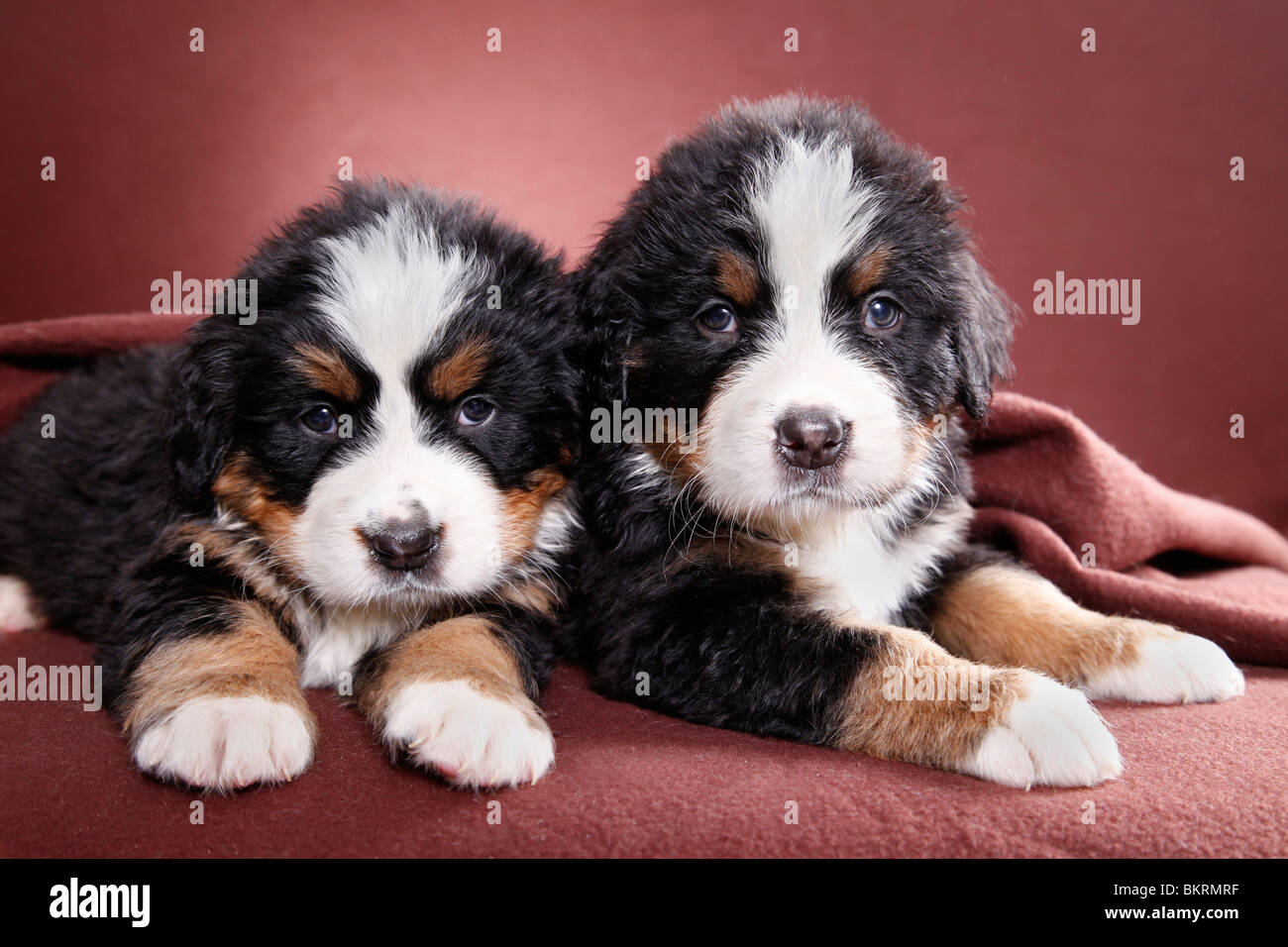 Berner Puppy