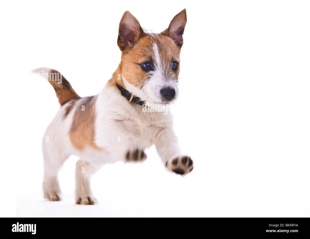 Jack Russell Puppy Brown and White in studio Stock Photo ...