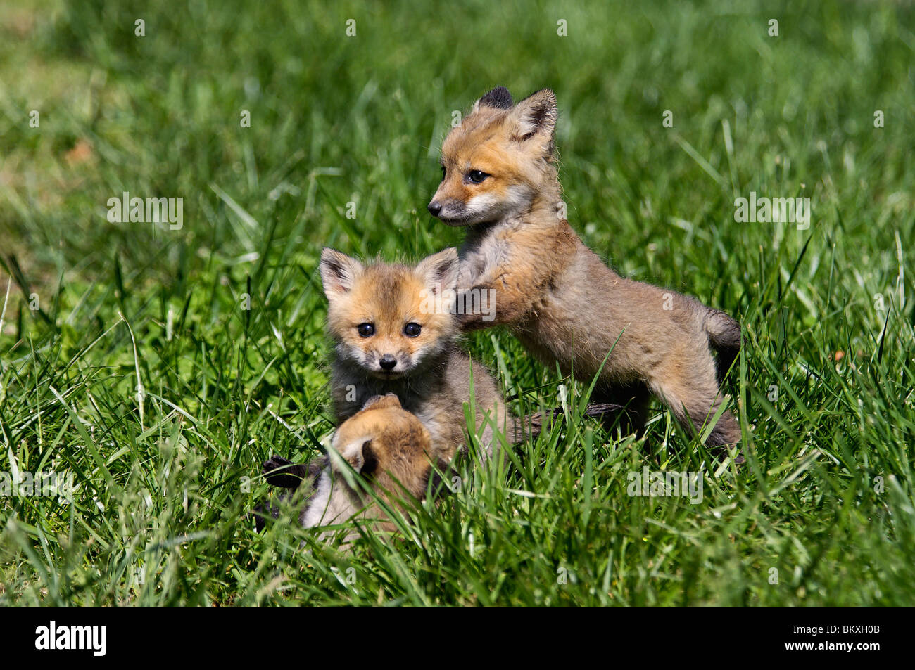 how to get a baby fox