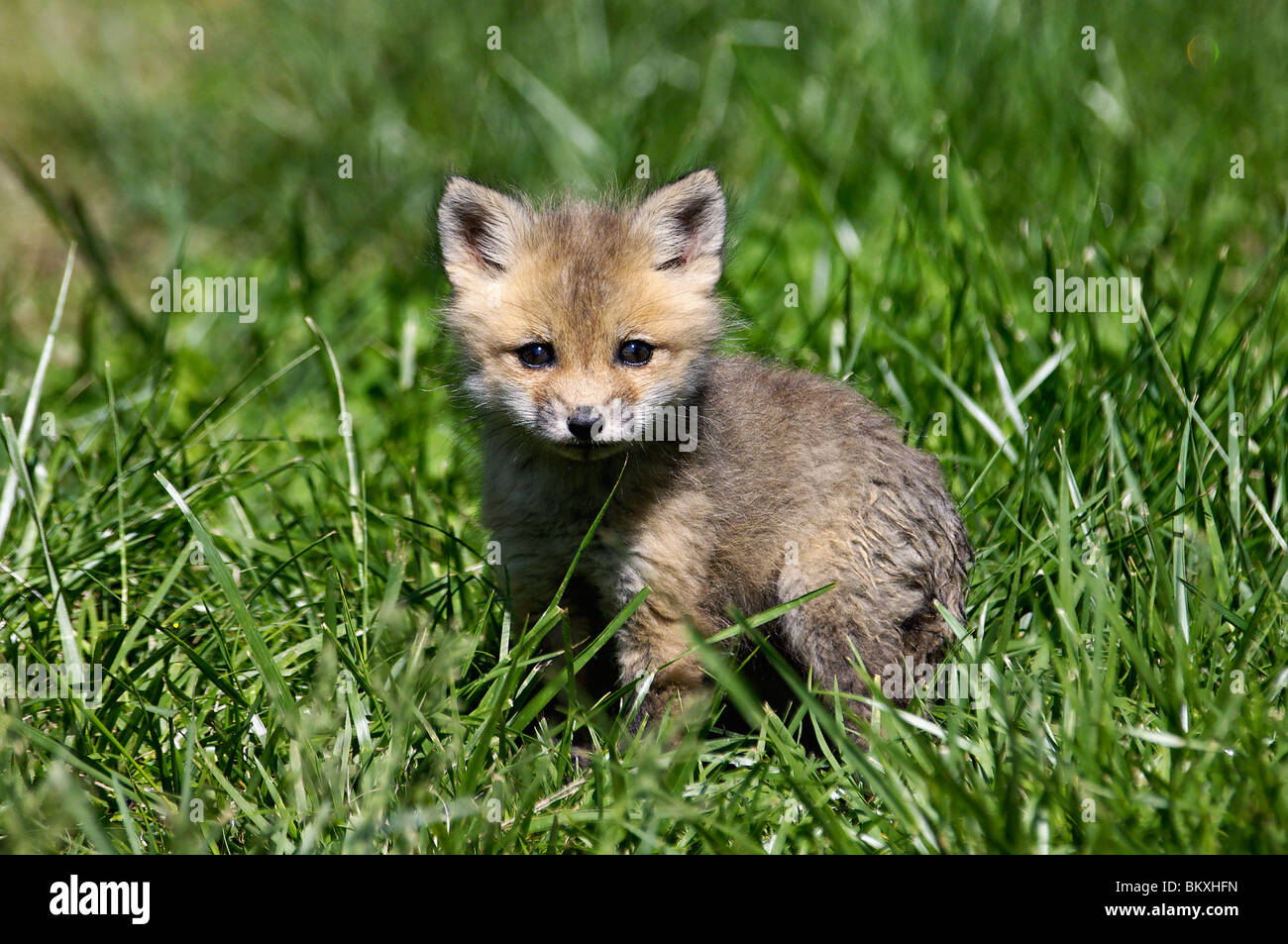 Baby Red Fox in Floyd County, Indiana Stock Photo, Royalty ...  Baby Red Fox in...