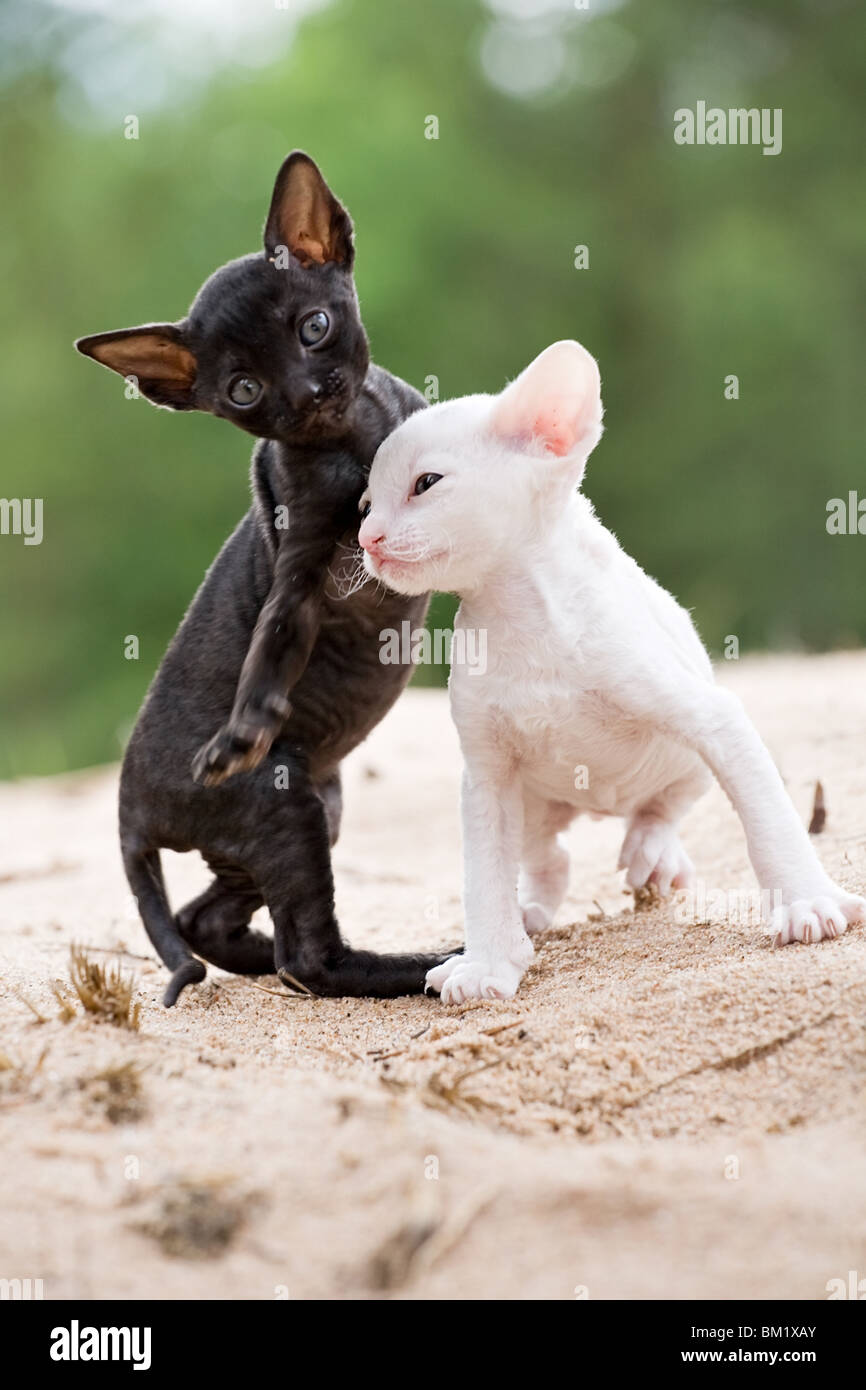 white and black cornish rex kittens on sand beach Stock
