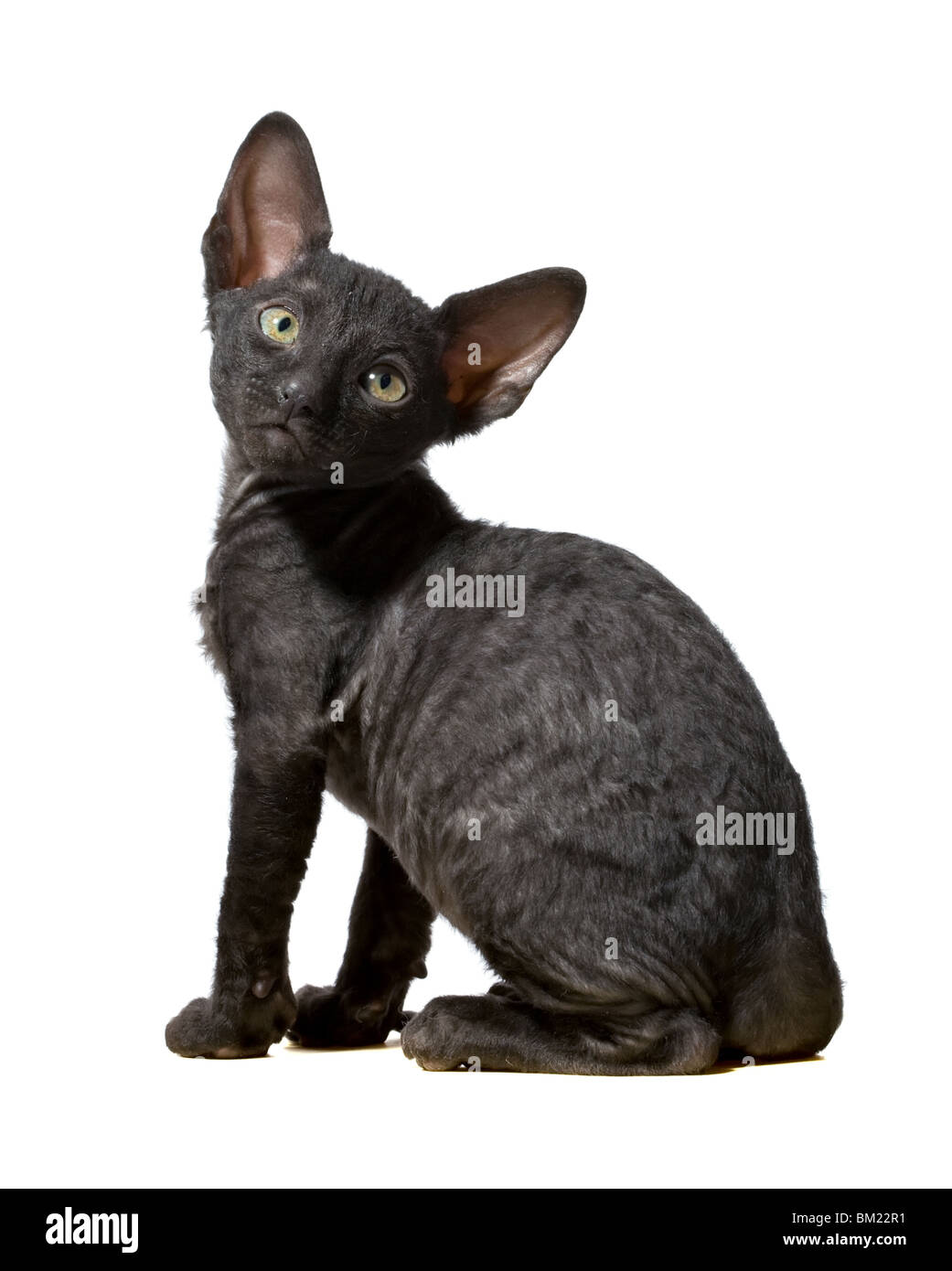 black cornish rex kitten sitting in profile isolated on white