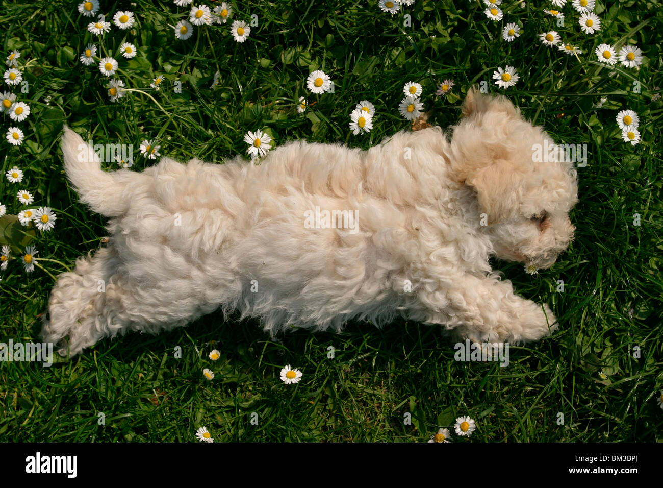 Bolonka Zwetna Welpe Bolonka Zwetna Puppy Stock Photo