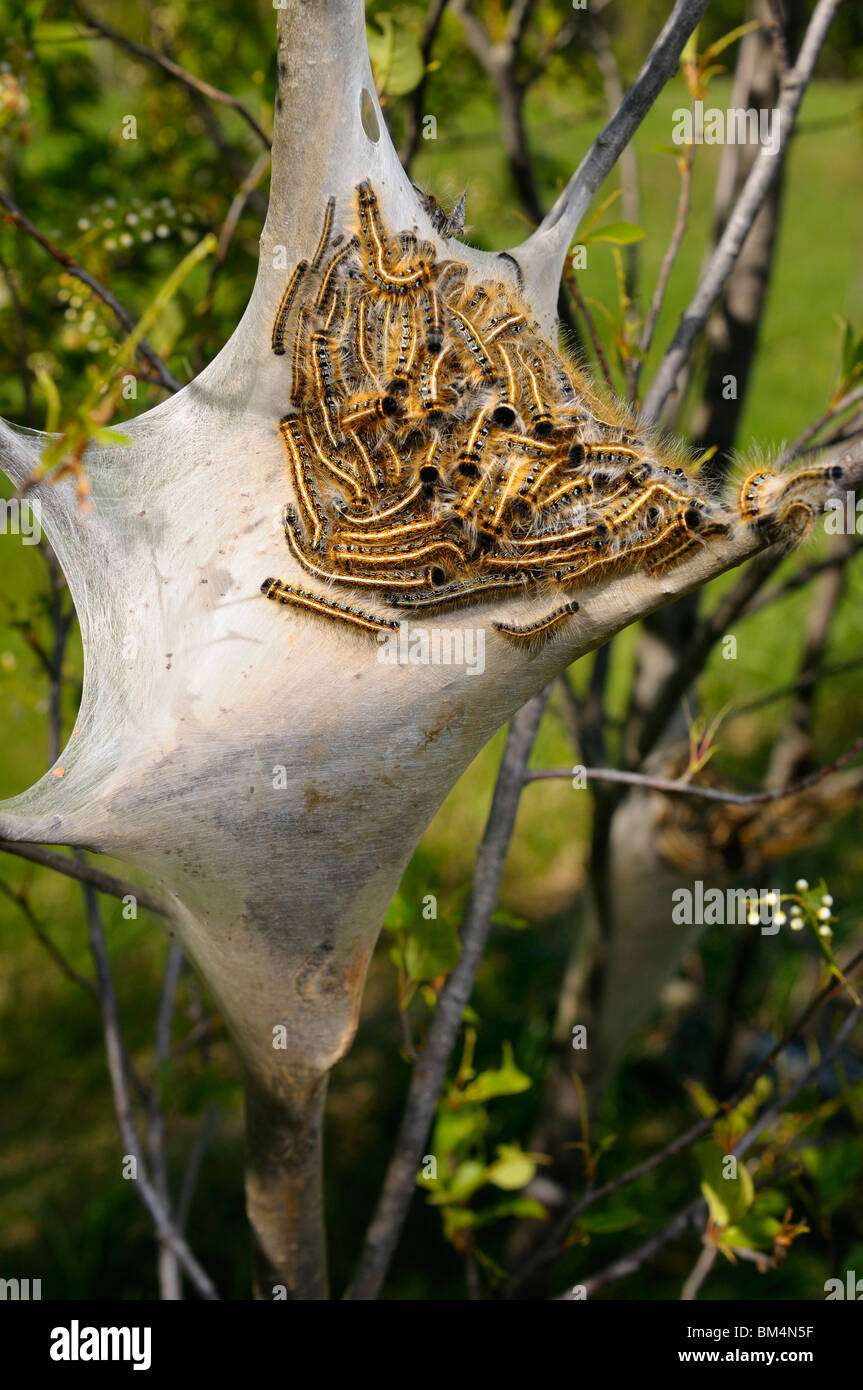 Silk home nest of Eastern Tent caterpillars Malacosoma americanum on a cherry tree in spring Ontario & Silk home nest of Eastern Tent caterpillars Malacosoma americanum ...