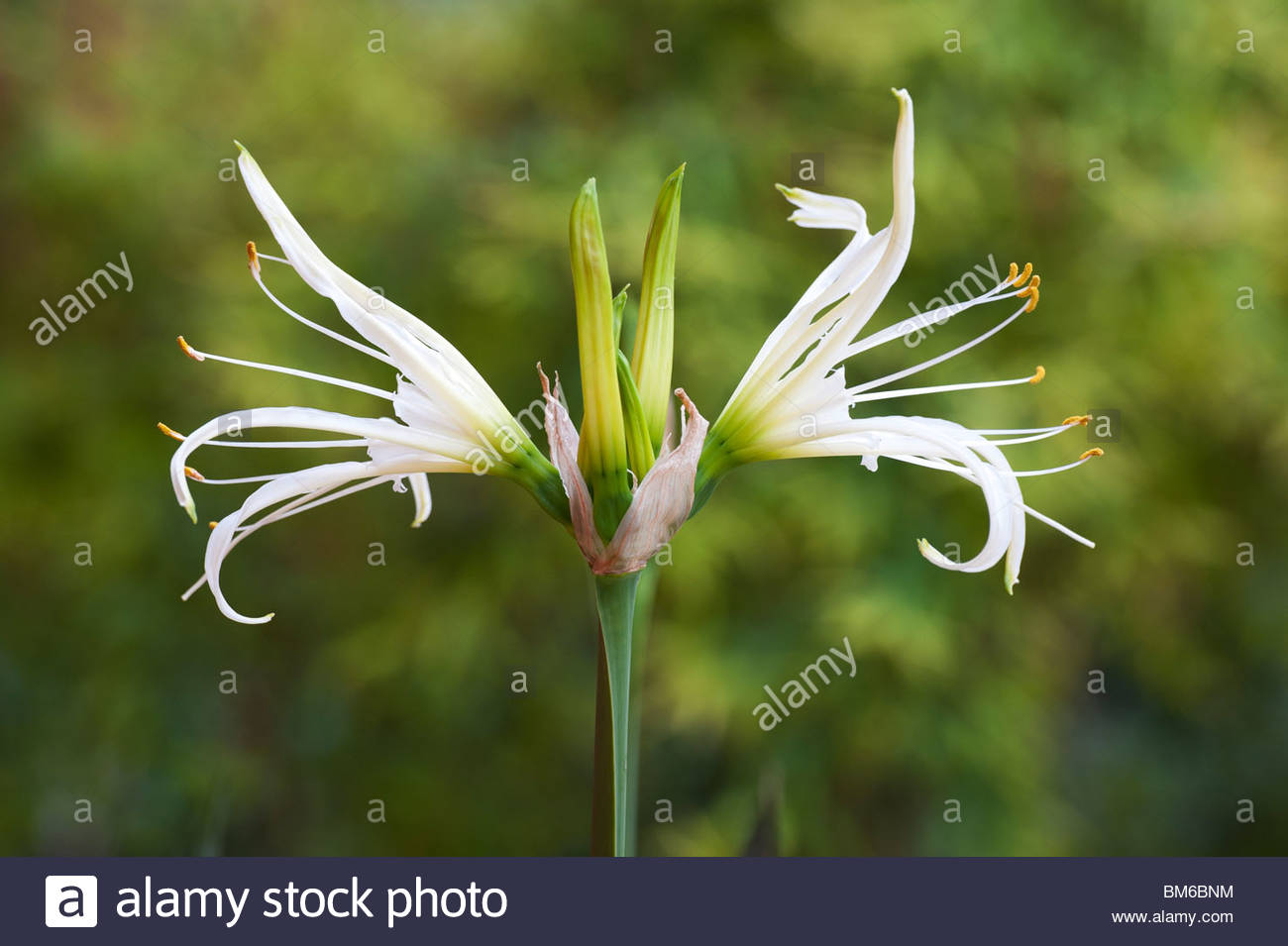 Hymenocallis longipetala spider lily flower in india stock photo hymenocallis longipetala spider lily flower in india izmirmasajfo Image collections