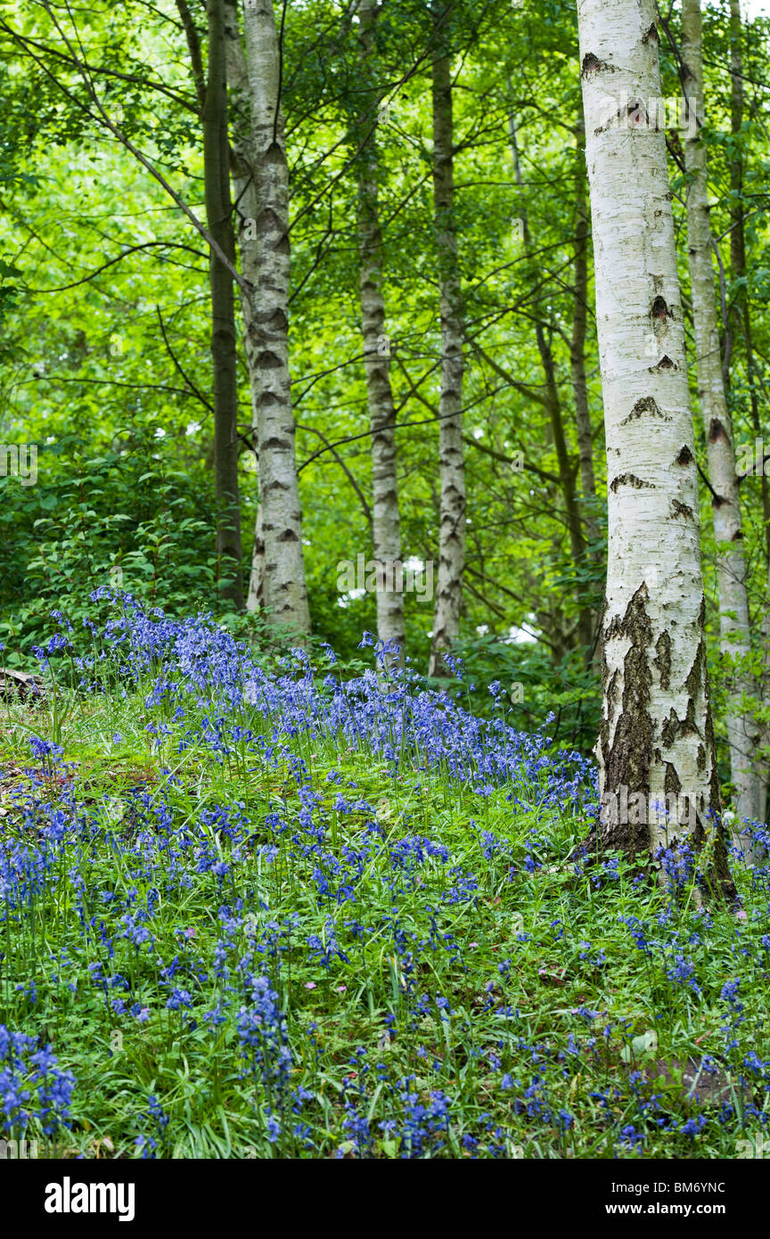 Hyacinthoides non scripta bluebells in amongst silver for Silver birch trees for small gardens