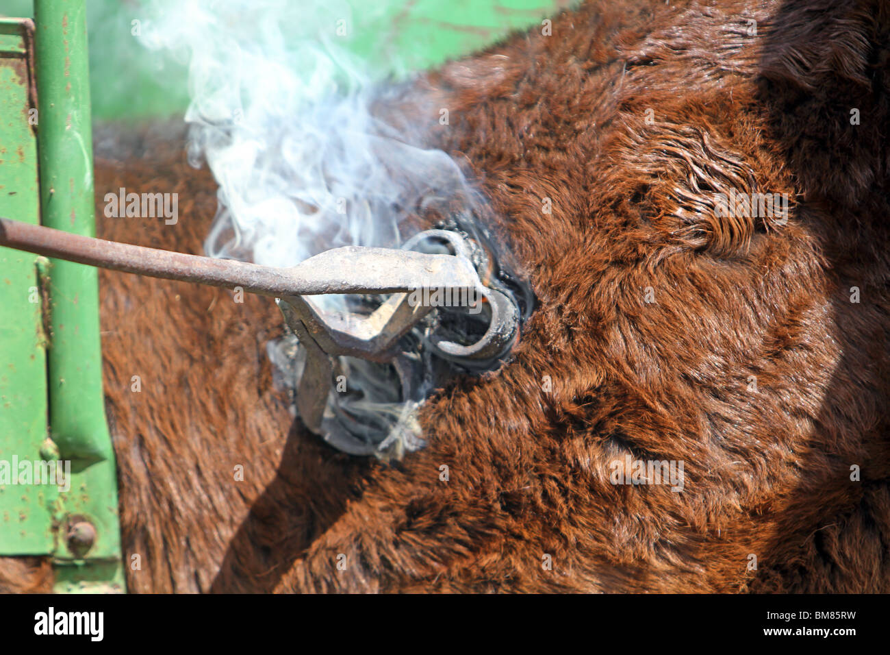 Cow branding stock photos cow branding stock images alamy branding cattle with a red hot brand iron smoke fire and burning skin as buycottarizona