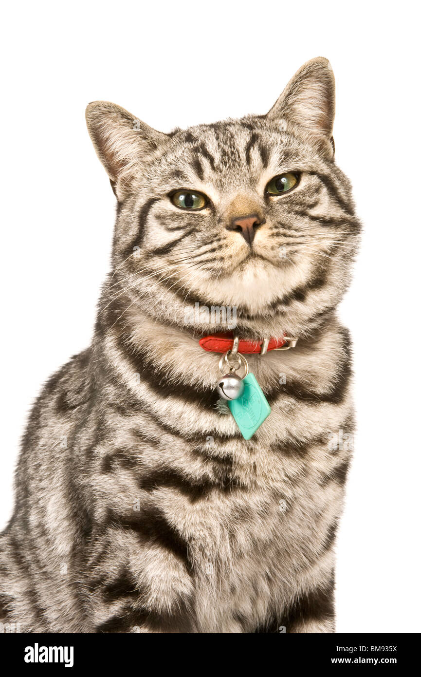 Close up portrait of a male British shorthair silver tabby cat