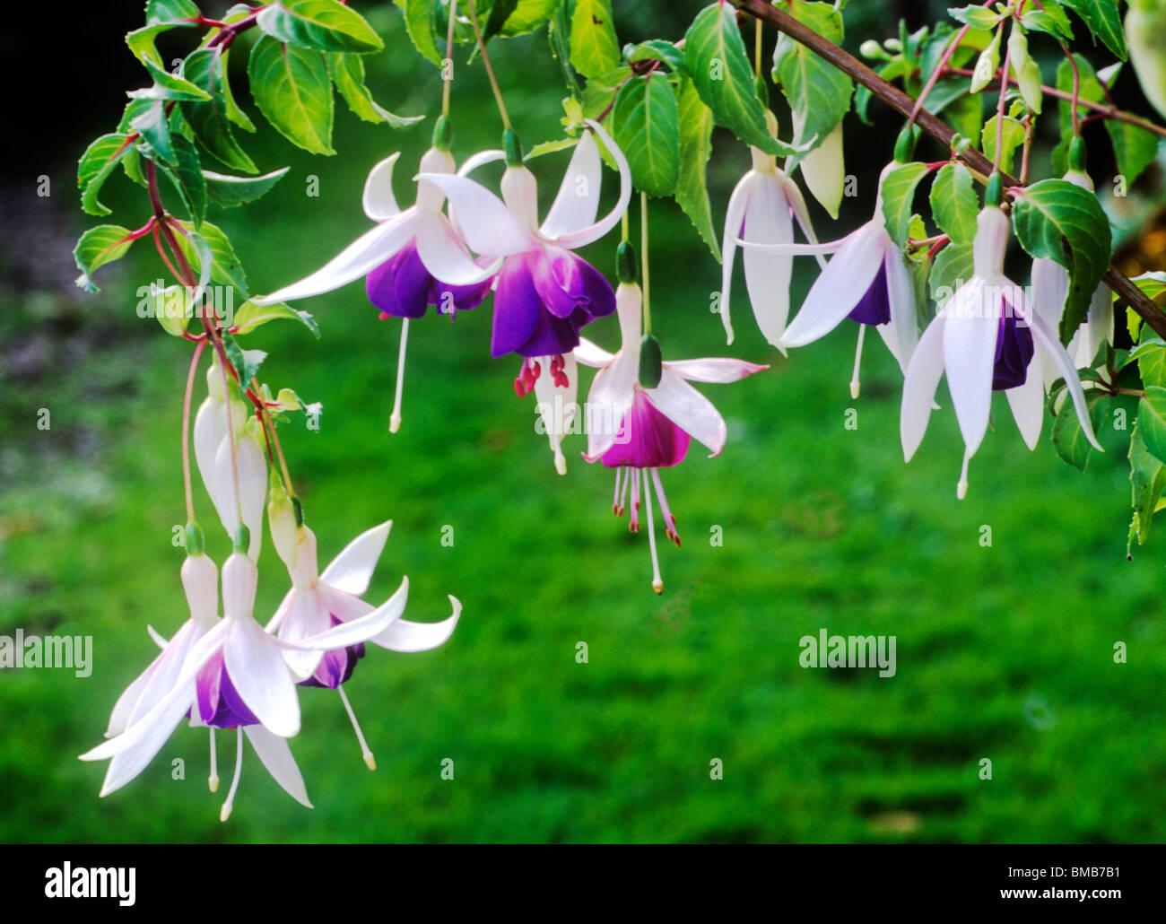 Fuschia deltaa sarah purple and white flower flowers garden plant fuschia deltaa sarah purple and white flower flowers garden plant plants izmirmasajfo Gallery