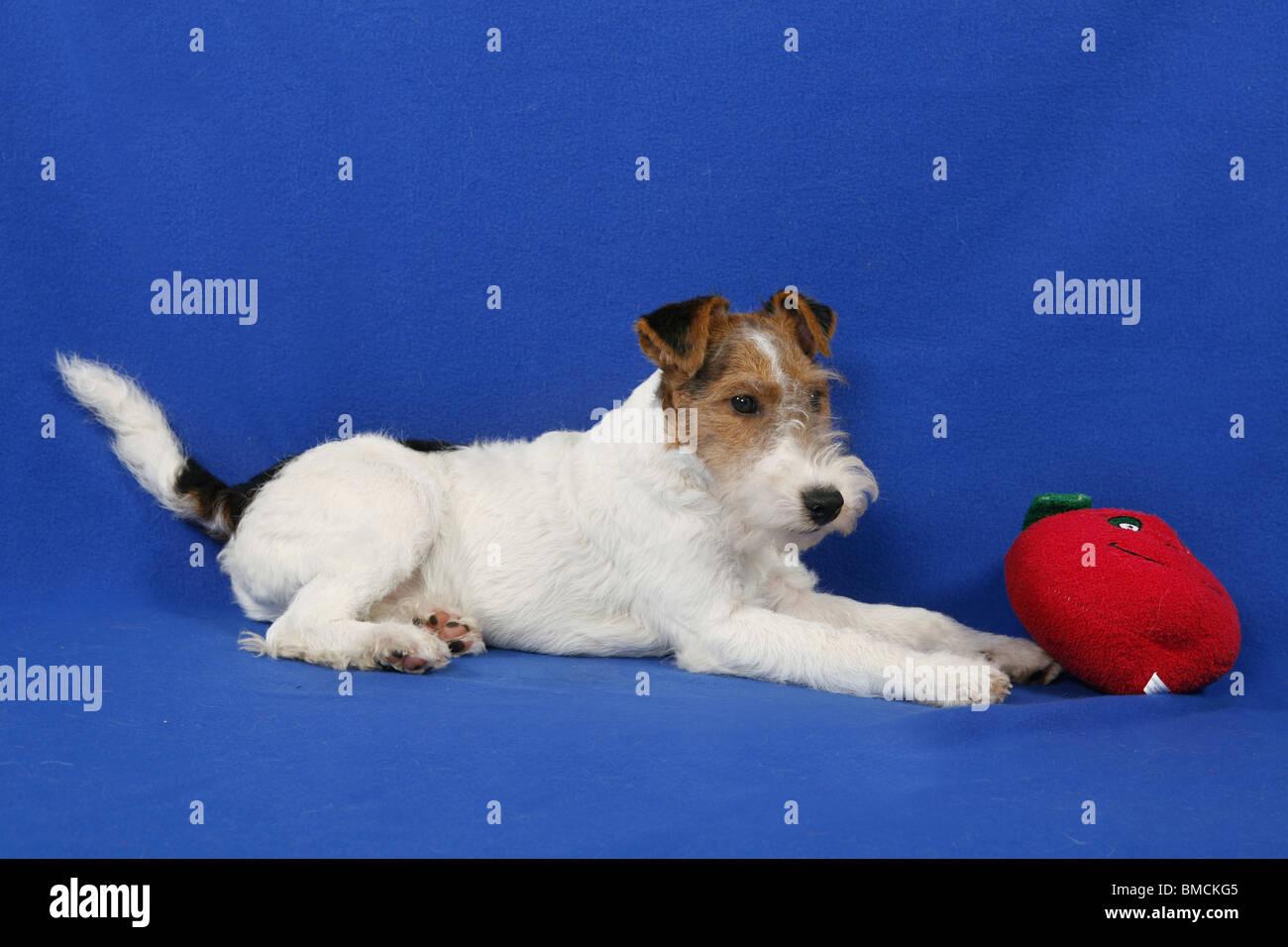 Ausgezeichnet Draht Fuchs Terrier Rettung Midwest Galerie ...