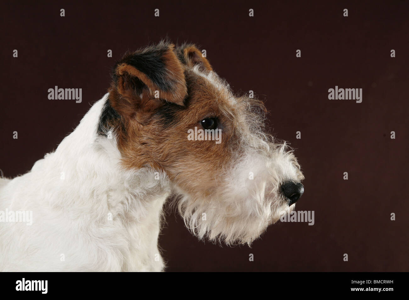 Charmant Draht Fox Terrier Züchter Galerie - Elektrische Schaltplan ...