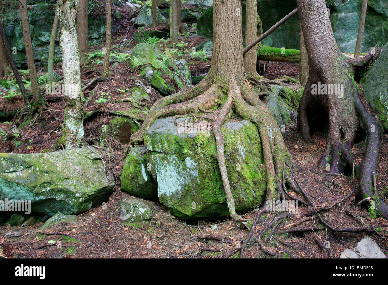Tree Roots Over Rock Stock Photo Royalty Free Image