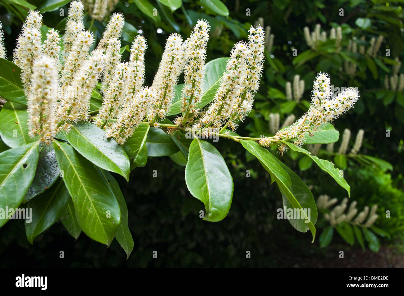 flowers of the cherry laurel prunus laurocerasus stock. Black Bedroom Furniture Sets. Home Design Ideas