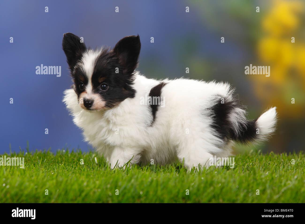 Best 25  Papillon puppies ideas on Pinterest