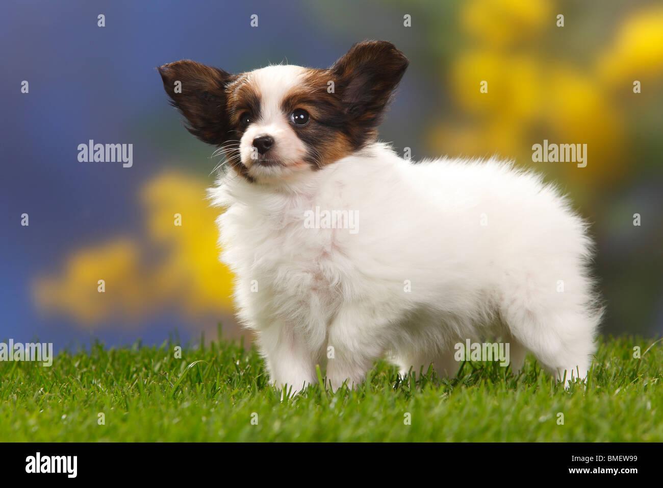 Papillon Puppies For Sale - AKC PuppyFinder