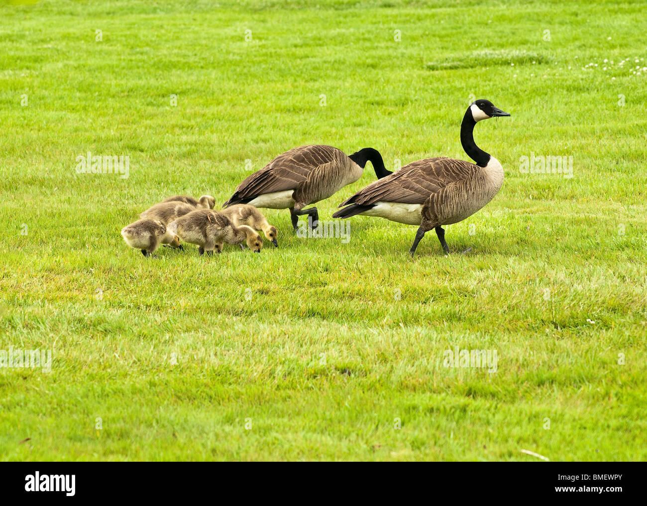 buy canada goose oakville