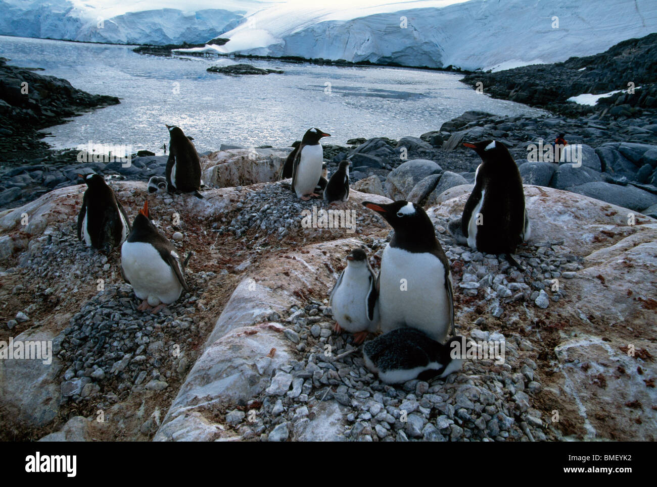 gentoo penguins with chicks wiencke island antarctica stock photo royalty free image. Black Bedroom Furniture Sets. Home Design Ideas