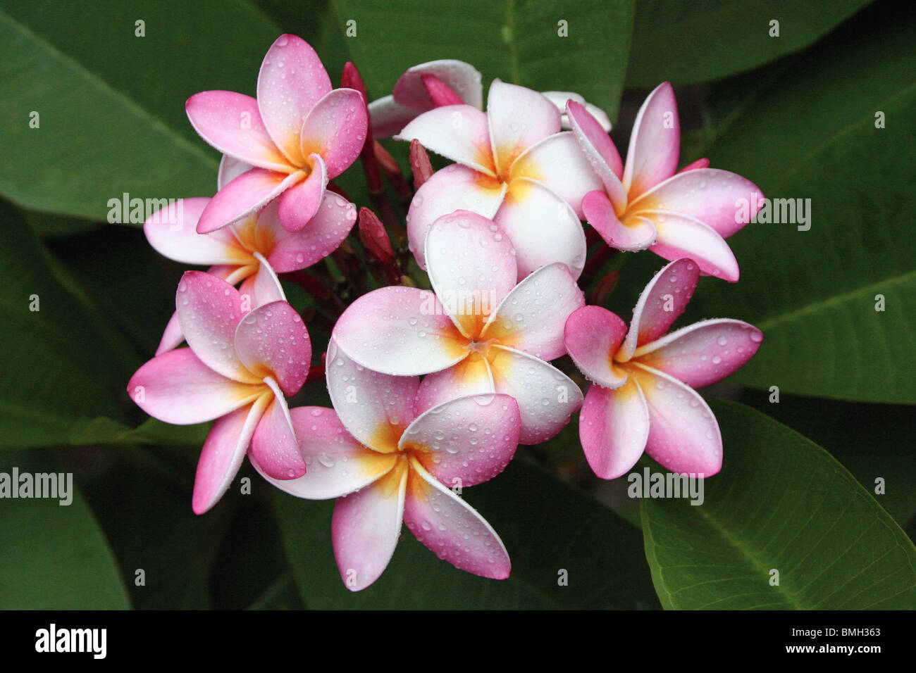 Pink plumeria flower yellow center stock photos pink plumeria bunch of pink yellow and white plumeria flowers and buds with dew drops and dhlflorist Gallery