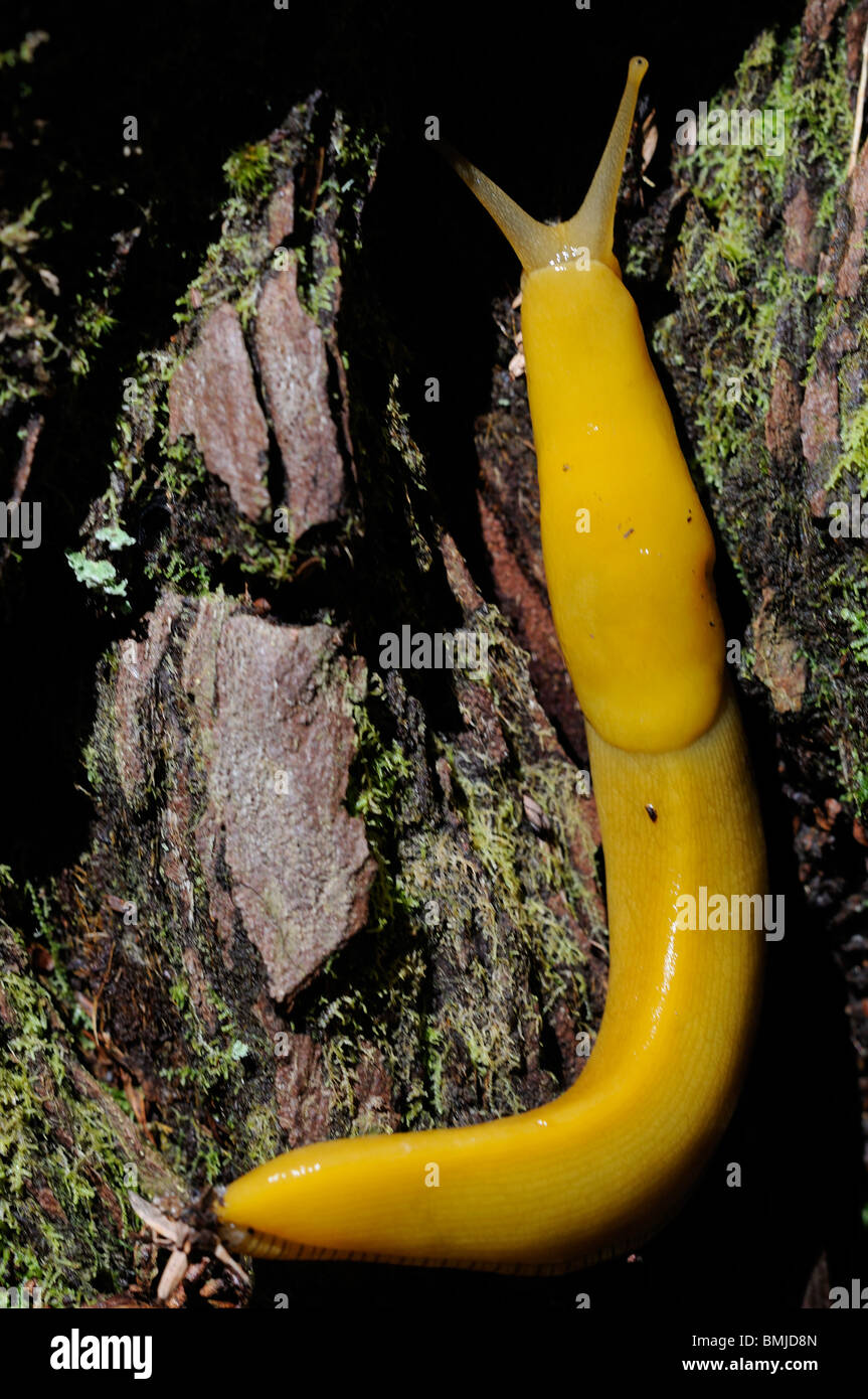 Banana Slug Anatomy | www.topsimages.com