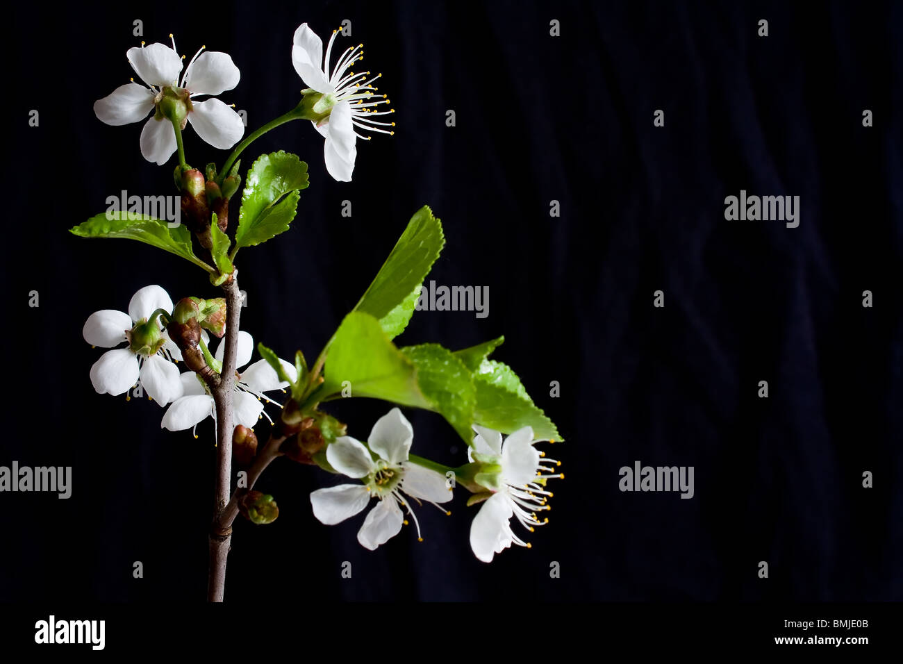 Beautiful flowers blooming cherry on a black background stock photo beautiful flowers blooming cherry on a black background izmirmasajfo Images