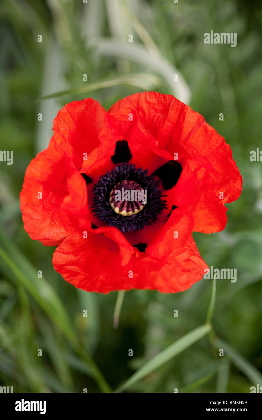 red poppy papaver orientale close up of single flower in english