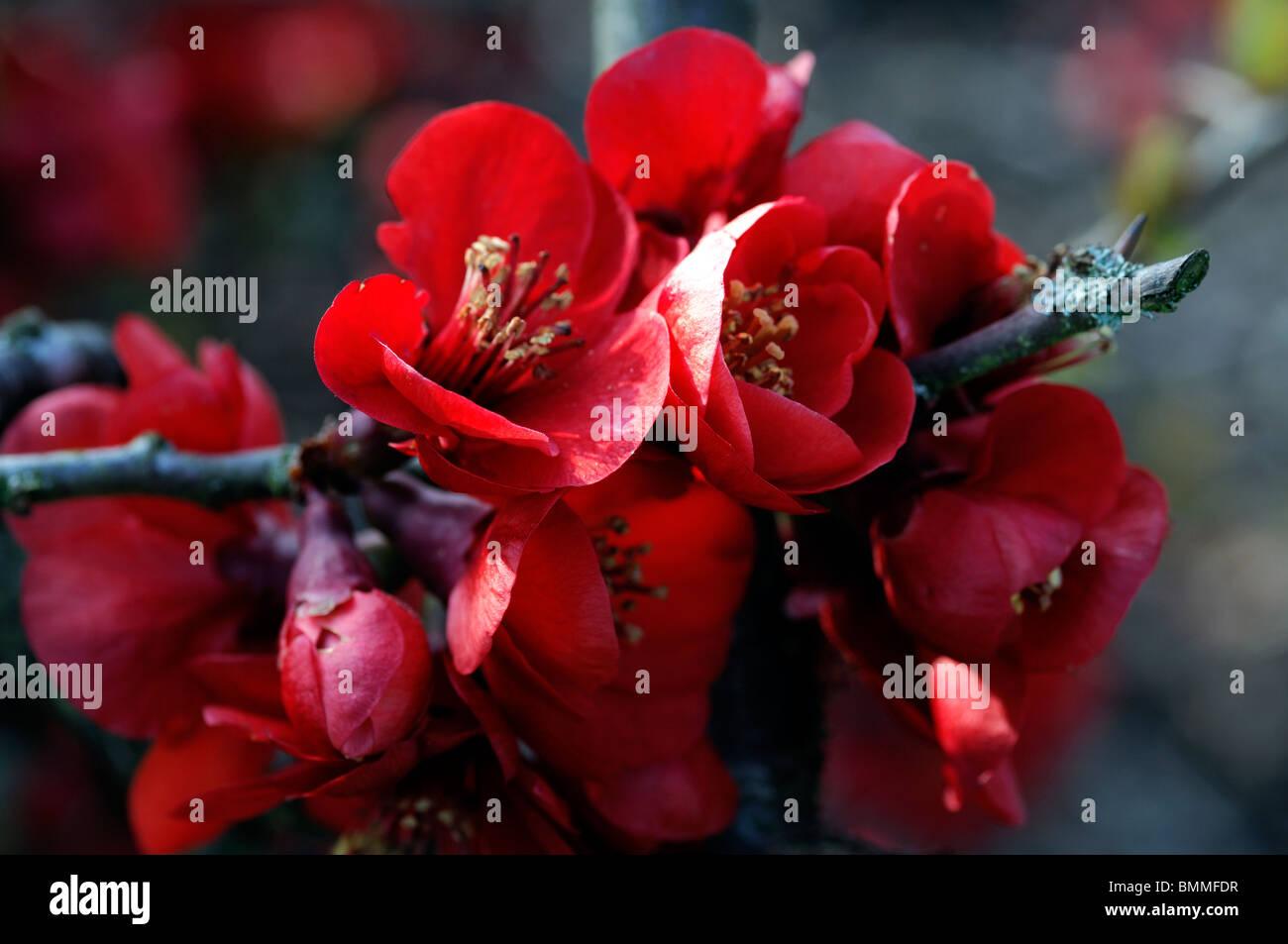 flowering quince chaenomeles speciosa etna cultivar hardy shrub red flowers spring flower bloom blossom stock - Quince Flower