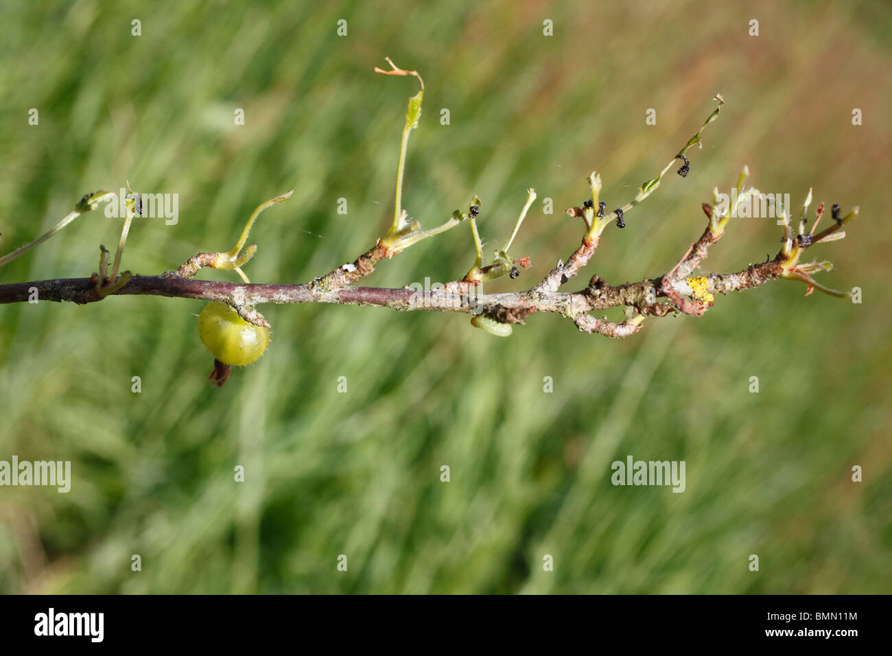 gooseberry branch stripped of leaves by gooseberry sawfly stock
