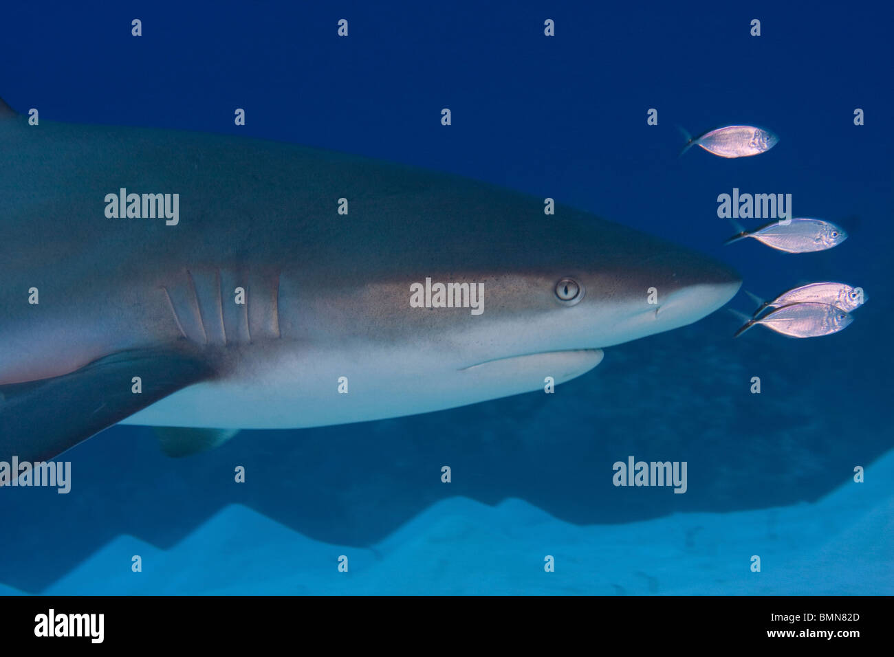 Caribbean reef shark swimming with small silver fish in for Small silver fish