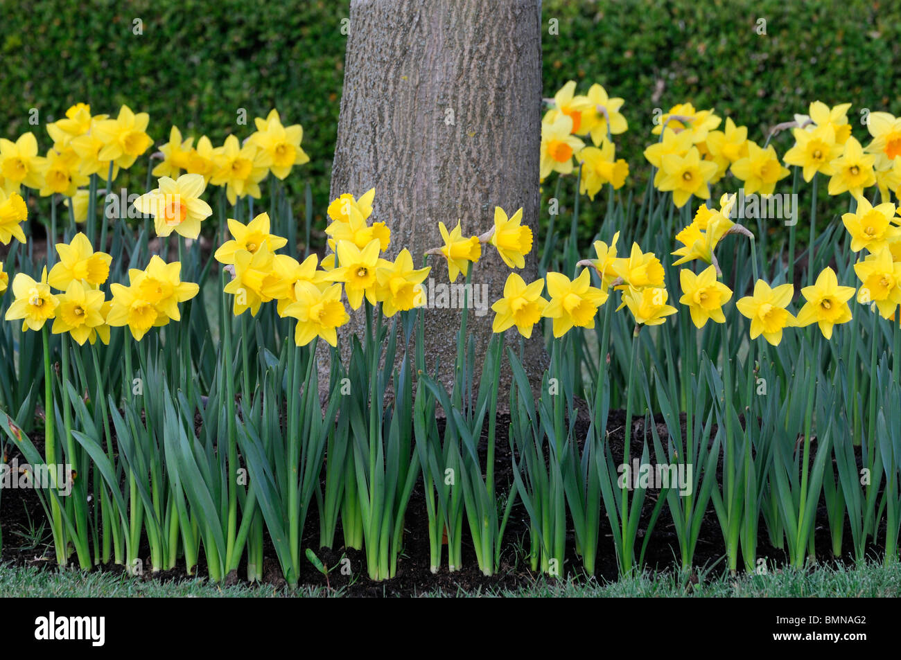 full circle ring of daffodils surround surrounding encircled