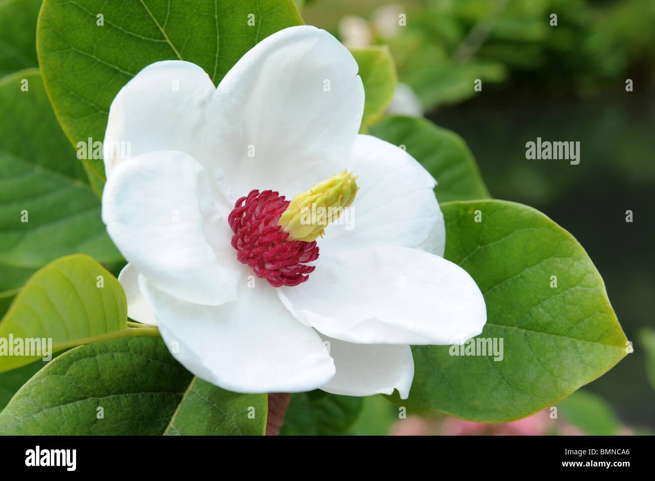 image gallery siebold 39 s magnolia. Black Bedroom Furniture Sets. Home Design Ideas