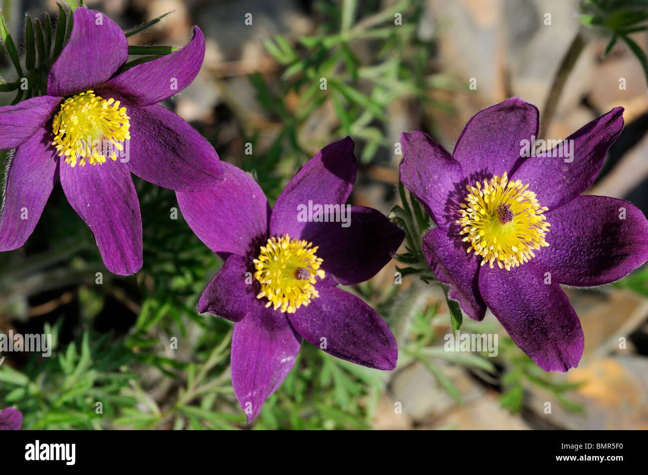 Pulsatilla Halleri Subsp Styriaca Styrian Pasque Flower Rose Lilac Stock Phot