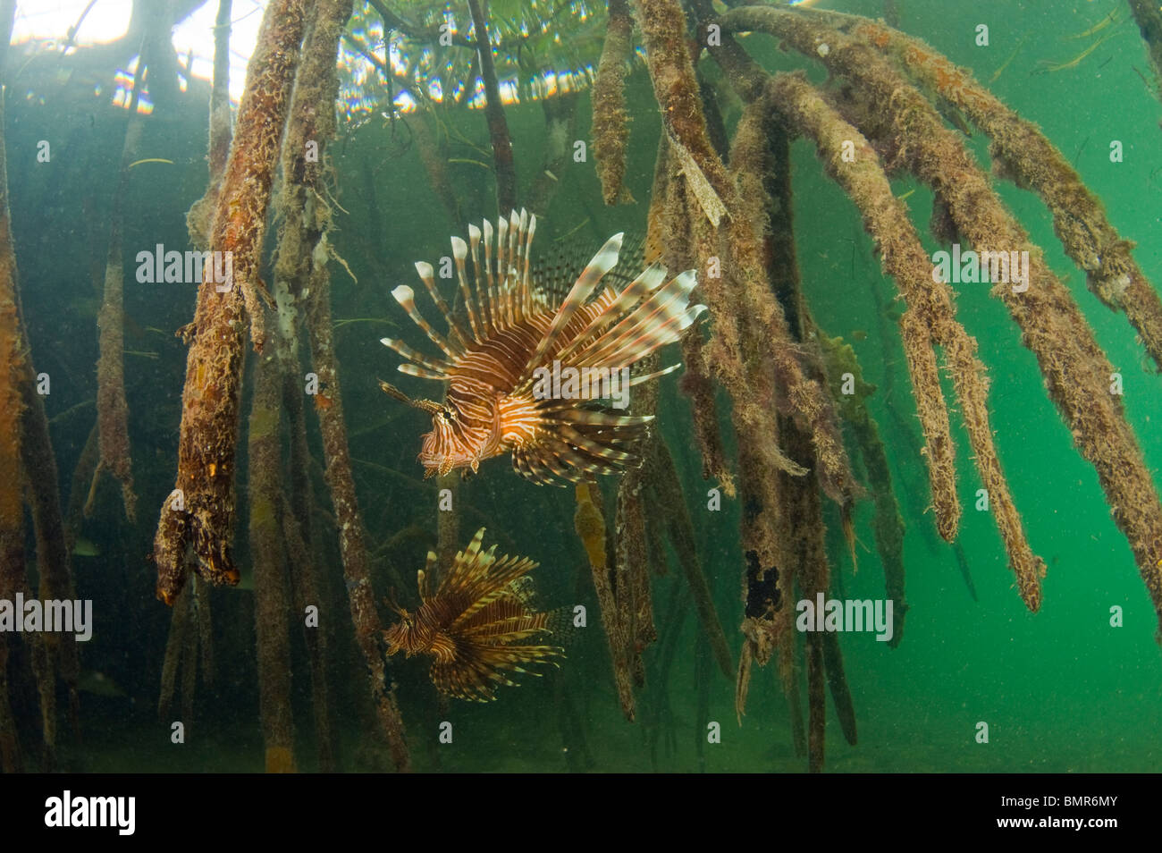 the lionfish an invasive species A key factor that makes many species invasive is a lack of predators in the  lionfish are thought to have been  the spread of invasive species and infectious .